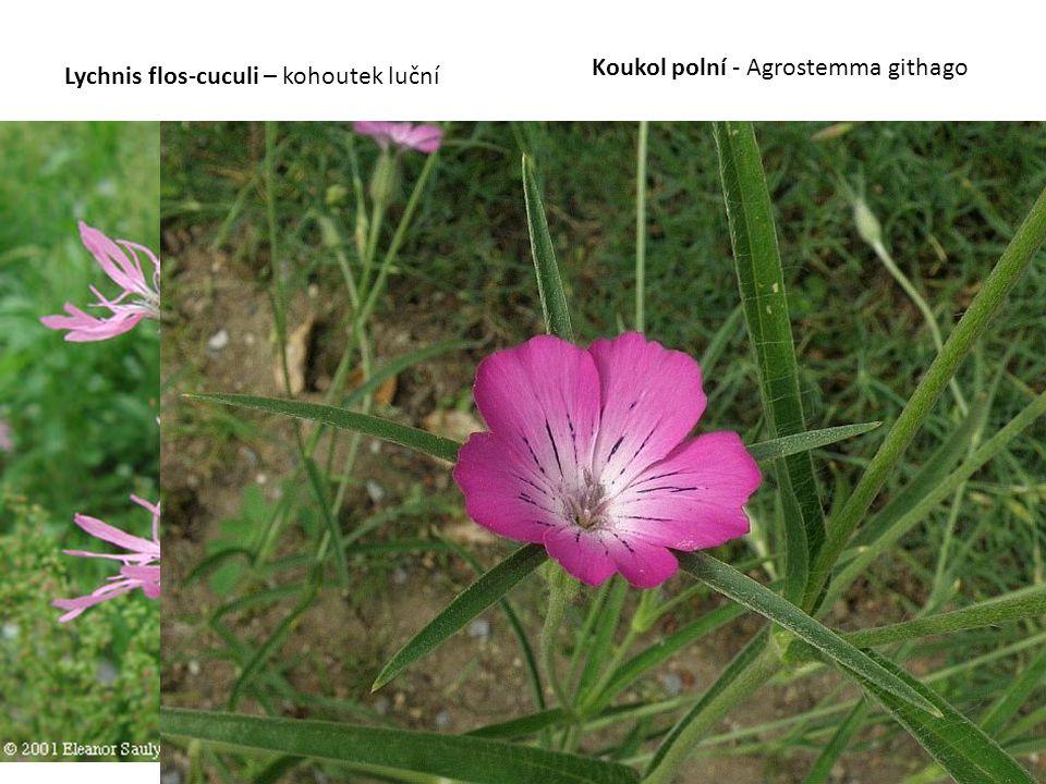 Koukol polní - Agrostemma githago