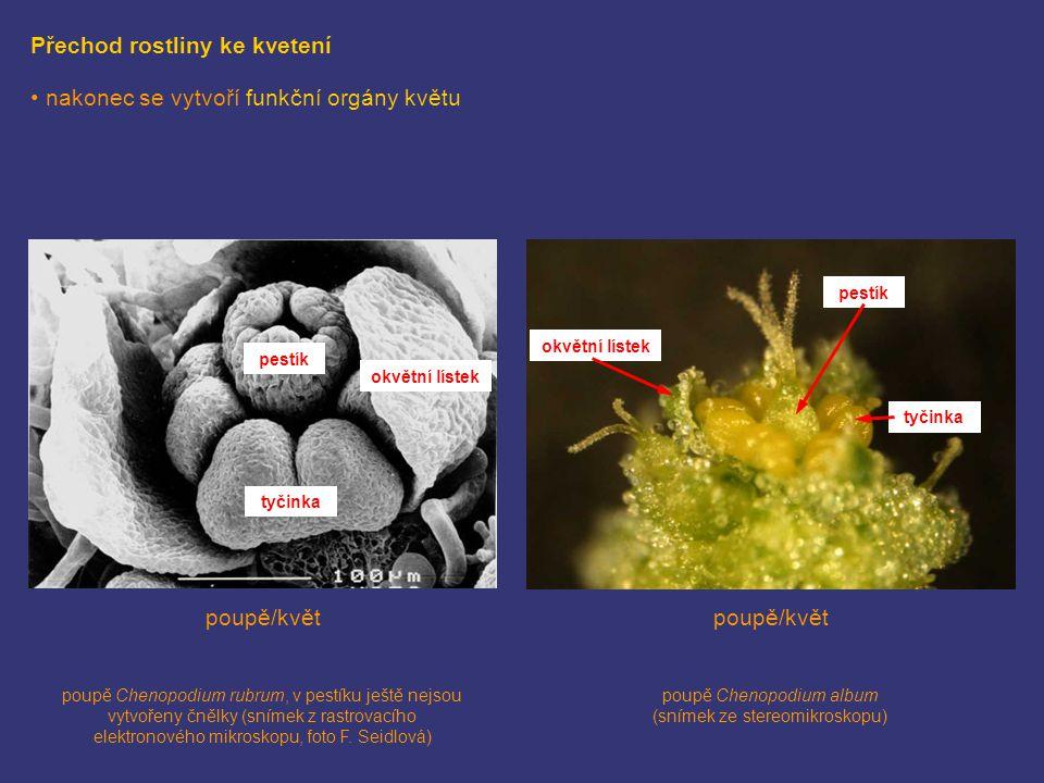 Přechod rostliny ke kvetení nakonec se vytvoří funkční orgány květu