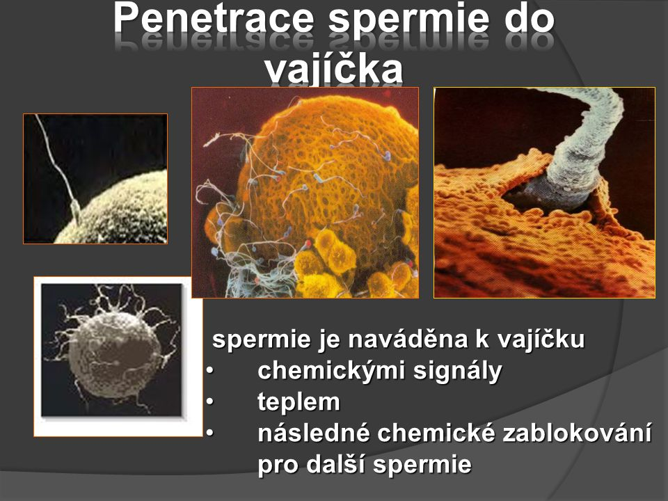 Penetrace spermie do vajíčka