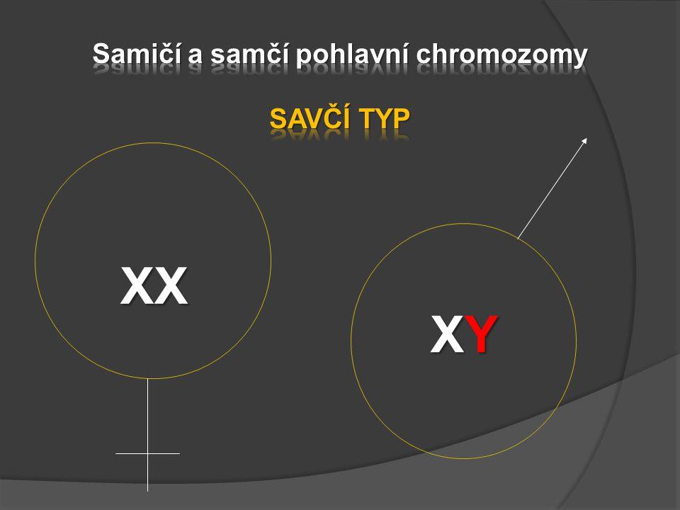 Samičí a samčí pohlavní chromozomy SAVČÍ TYP