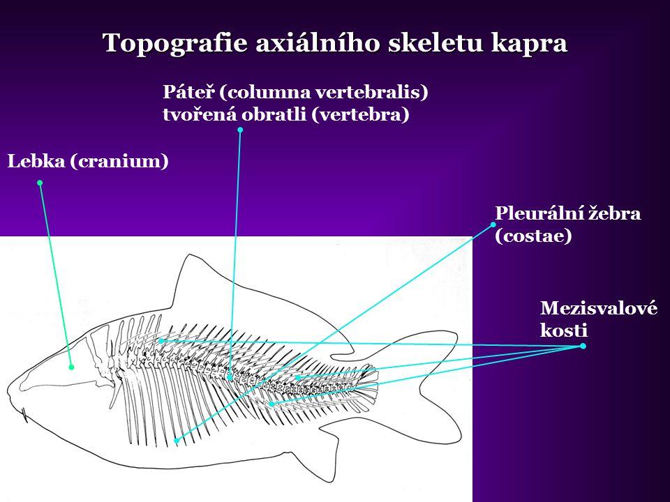Topografie axiálního skeletu kapra