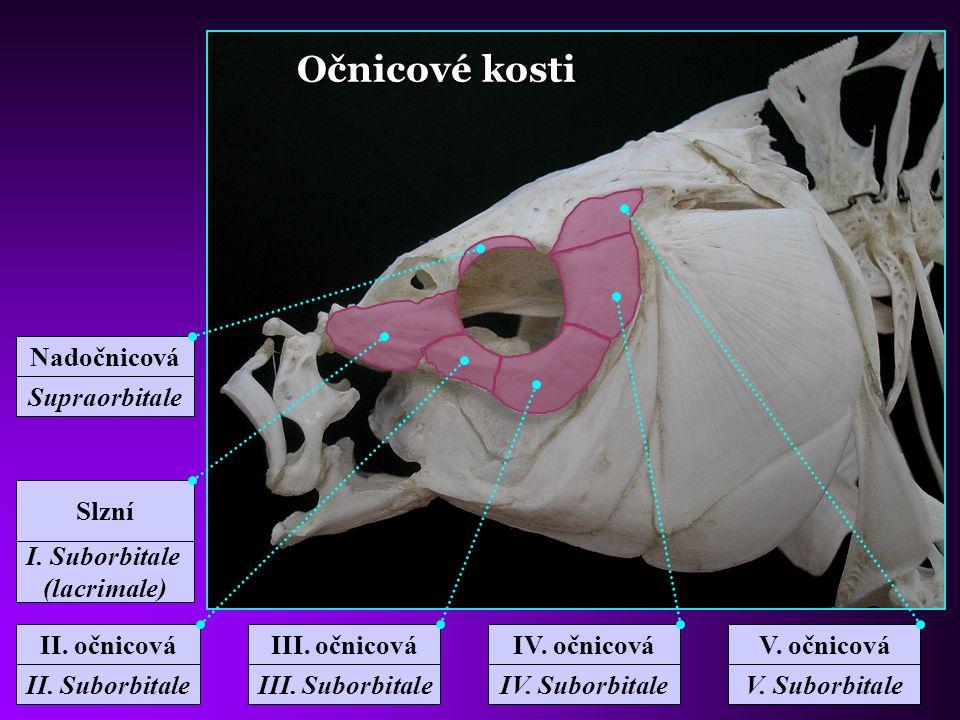 Očnicové kosti Nadočnicová Supraorbitale Slzní I. Suborbitale