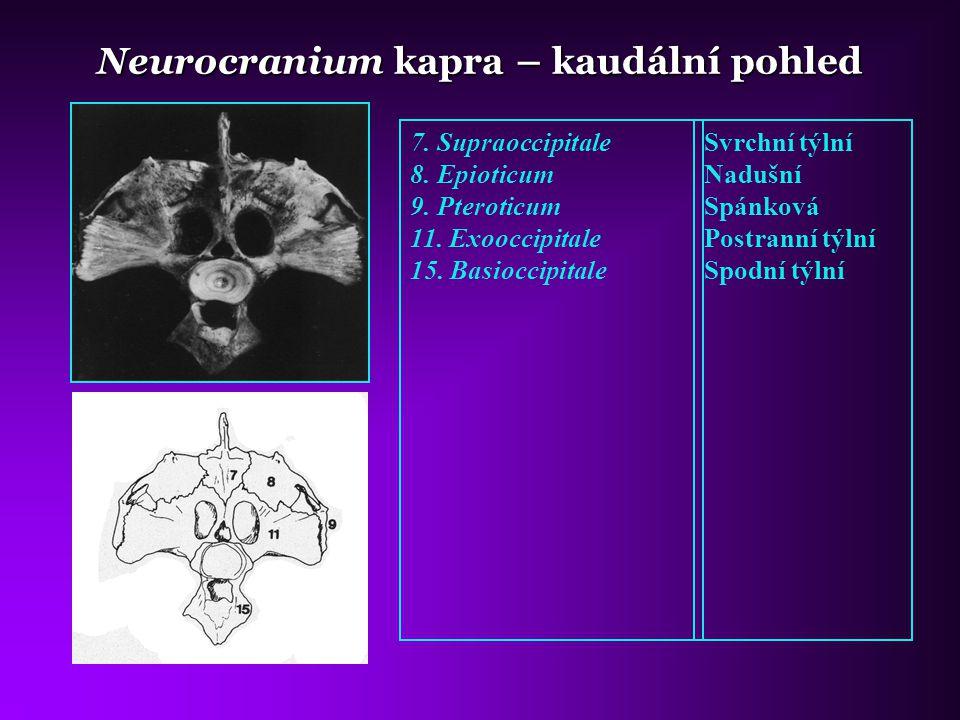Neurocranium kapra – kaudální pohled