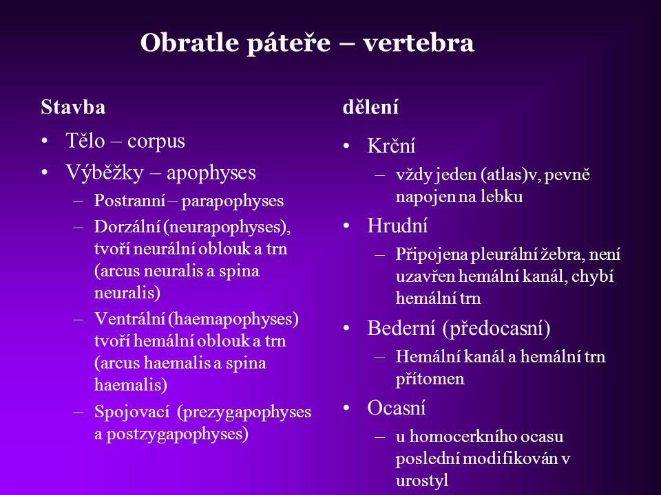 Obratle páteře – vertebra