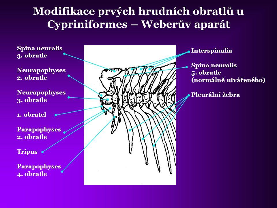 Modifikace prvých hrudních obratlů u Cypriniformes – Weberův aparát