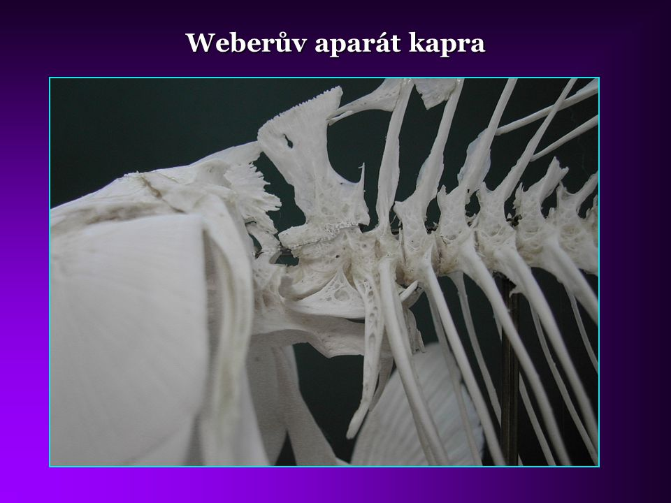 Weberův aparát kapra