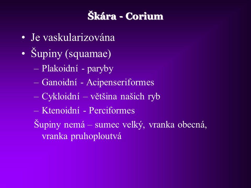 Je vaskularizována Šupiny (squamae) Škára - Corium Plakoidní - paryby