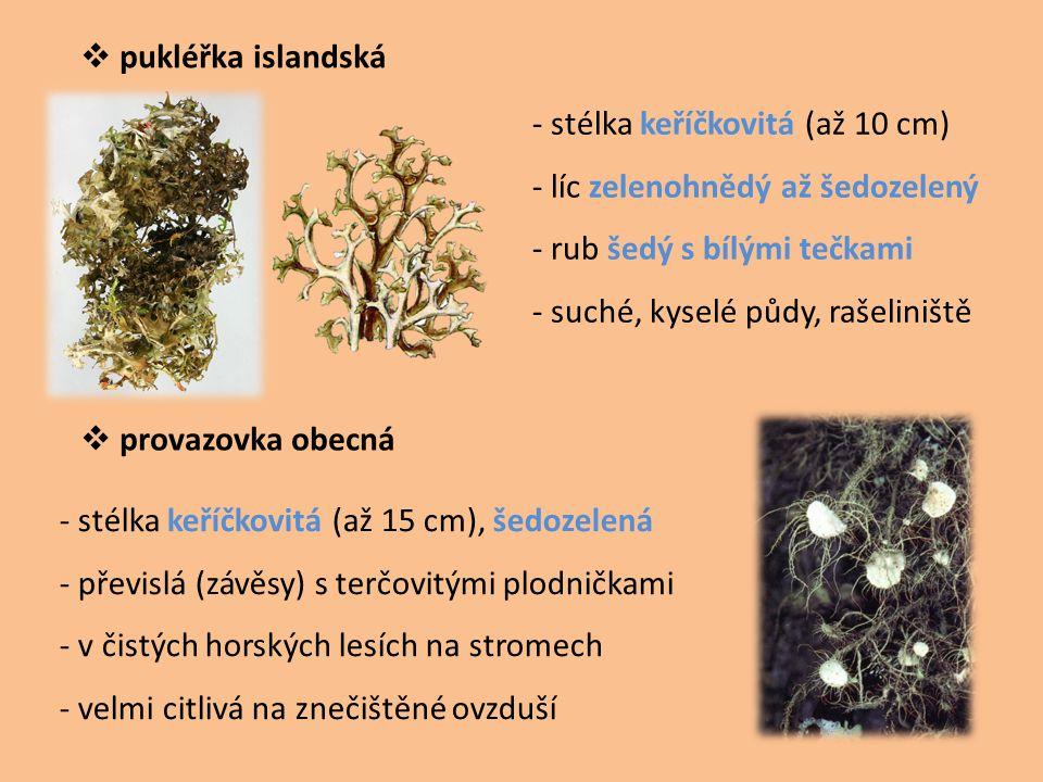 pukléřka islandská - stélka keříčkovitá (až 10 cm) - líc zelenohnědý až šedozelený. - rub šedý s bílými tečkami.