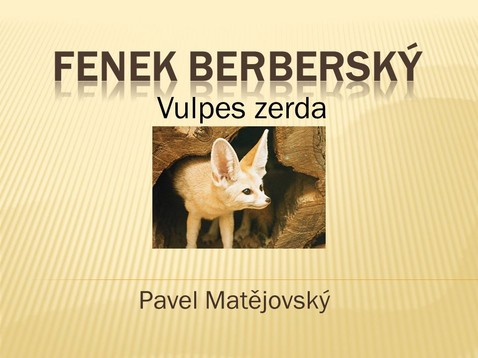 fenek berberský Vulpes zerda Pavel Matějovský