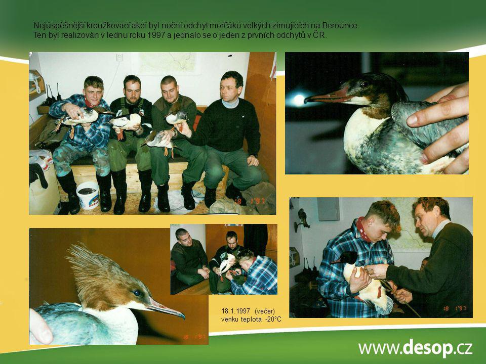 Nejúspěšnější kroužkovací akcí byl noční odchyt morčáků velkých zimujících na Berounce. Ten byl realizován v lednu roku 1997 a jednalo se o jeden z prvních odchytů v ČR.