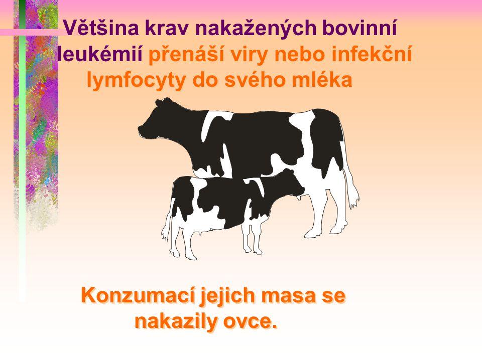 Většina krav nakažených bovinní leukémií přenáší viry nebo infekční lymfocyty do svého mléka
