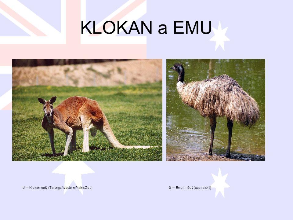KLOKAN a EMU 8 – Klokan rudý (Taronga Western Plains Zoo)