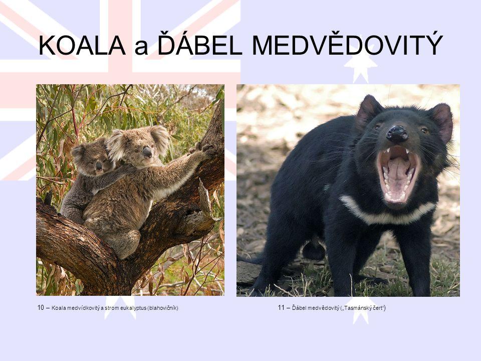 KOALA a ĎÁBEL MEDVĚDOVITÝ