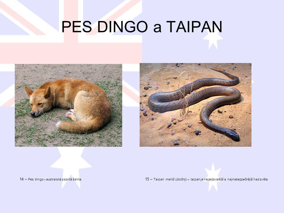 PES DINGO a TAIPAN 14 – Pes dingo – australská psovitá šelma