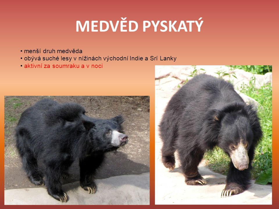 MEDVĚD PYSKATÝ • menší druh medvěda