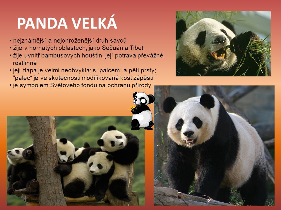 PANDA VELKÁ • nejznámější a nejohroženější druh savců