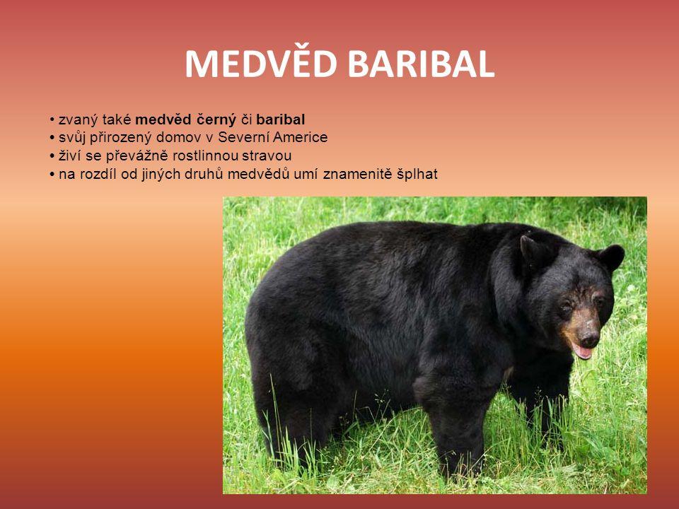 MEDVĚD BARIBAL • zvaný také medvěd černý či baribal
