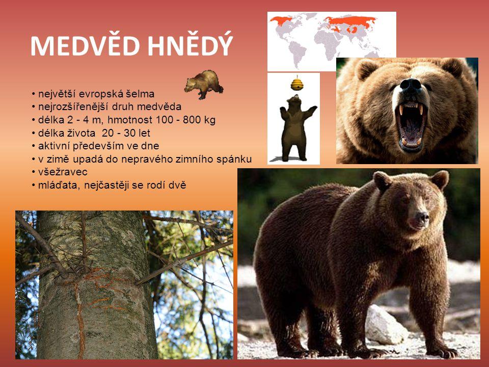MEDVĚD HNĚDÝ • největší evropská šelma • nejrozšířenější druh medvěda