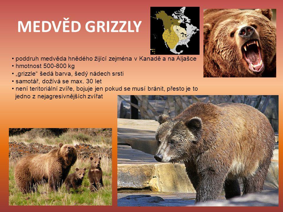 MEDVĚD GRIZZLY • poddruh medvěda hnědého žijící zejména v Kanadě a na Aljašce. • hmotnost 500-800 kg.