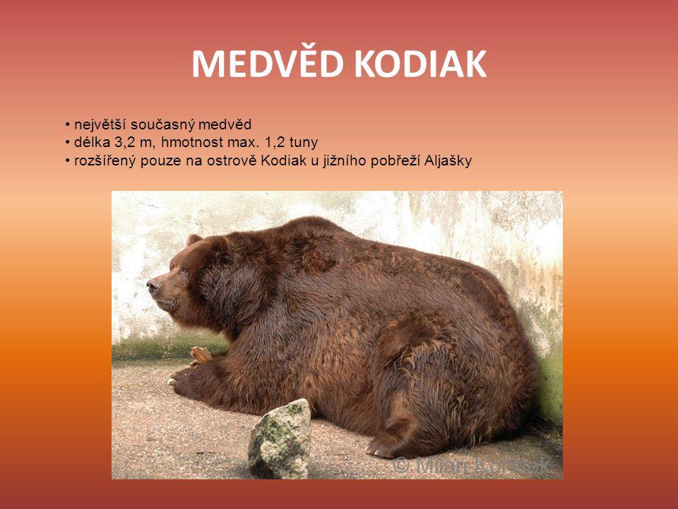 MEDVĚD KODIAK • největší současný medvěd