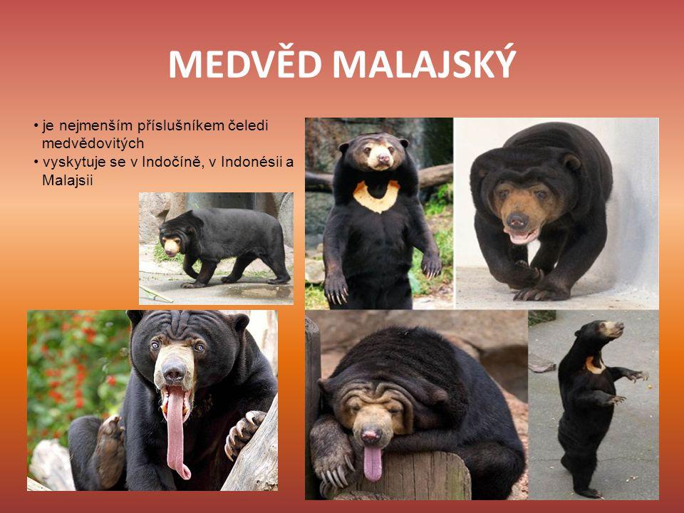 MEDVĚD MALAJSKÝ • je nejmenším příslušníkem čeledi medvědovitých