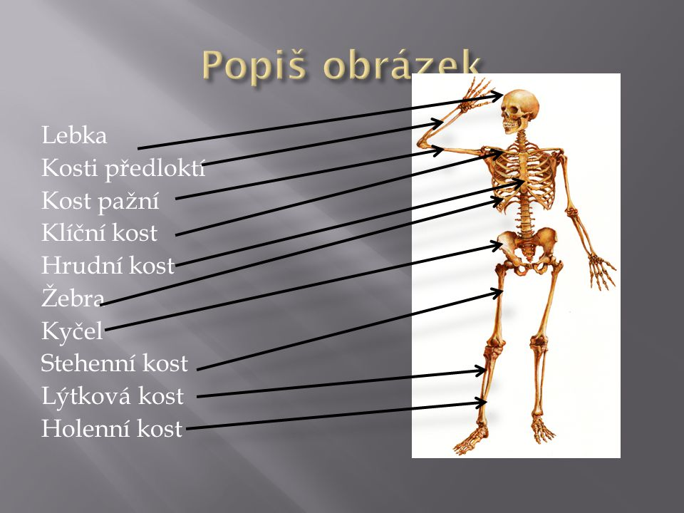 Popiš obrázek Lebka Kosti předloktí Kost pažní Klíční kost Hrudní kost Žebra Kyčel Stehenní kost Lýtková kost Holenní kost