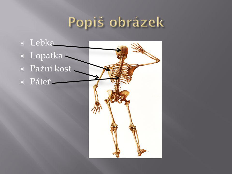 Popiš obrázek Lebka Lopatka Pažní kost Páteř