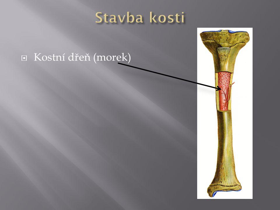 Stavba kosti Kostní dřeň (morek)