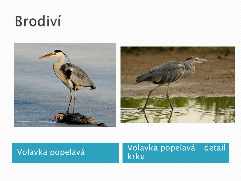 Brodiví Volavka popelavá Volavka popelavá – detail krku