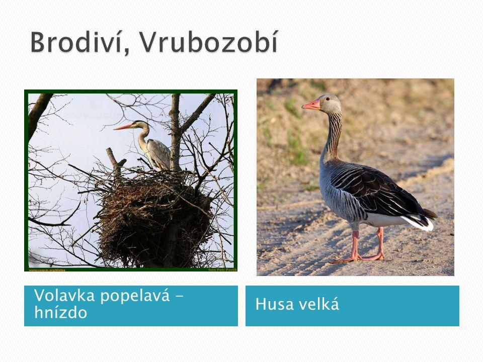 Brodiví, Vrubozobí Volavka popelavá - hnízdo Husa velká