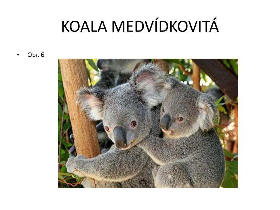 KOALA MEDVÍDKOVITÁ Obr. 6