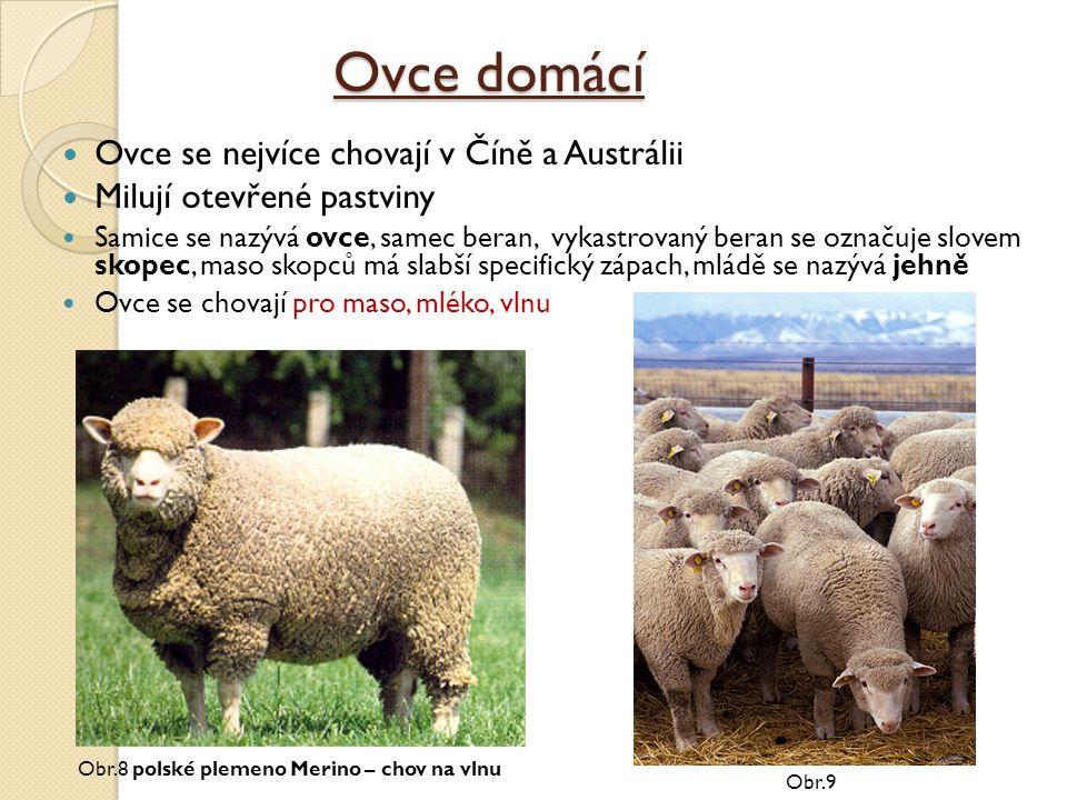 Ovce domácí Ovce se nejvíce chovají v Číně a Austrálii