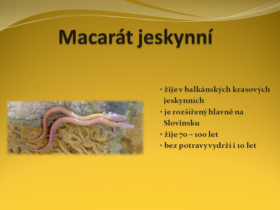 Macarát jeskynní žije v balkánských krasových jeskynních