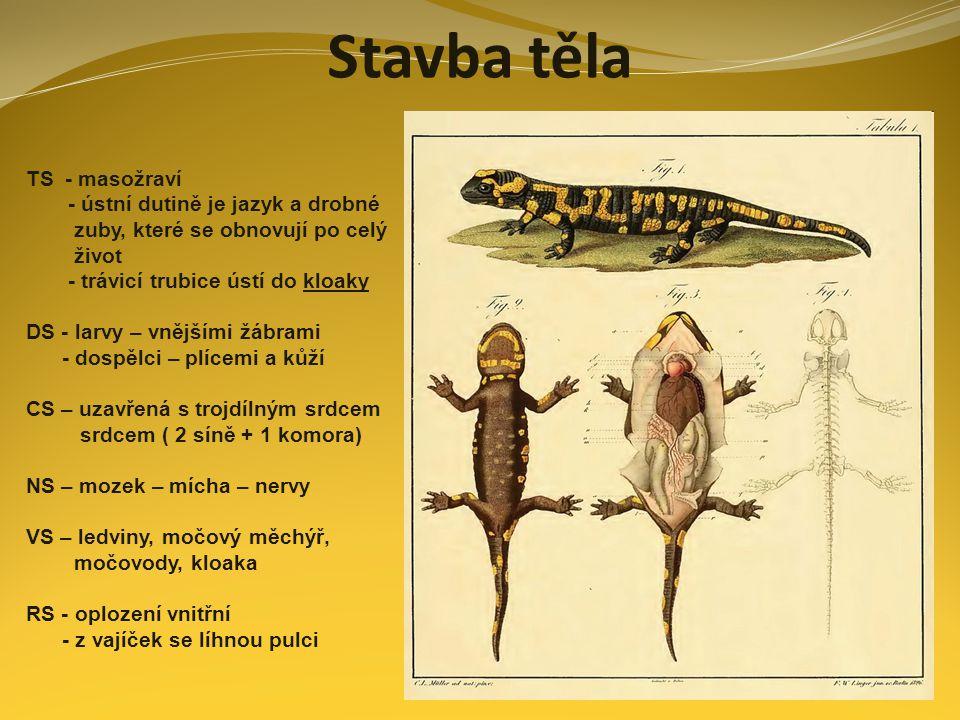 Stavba těla TS - masožraví - ústní dutině je jazyk a drobné