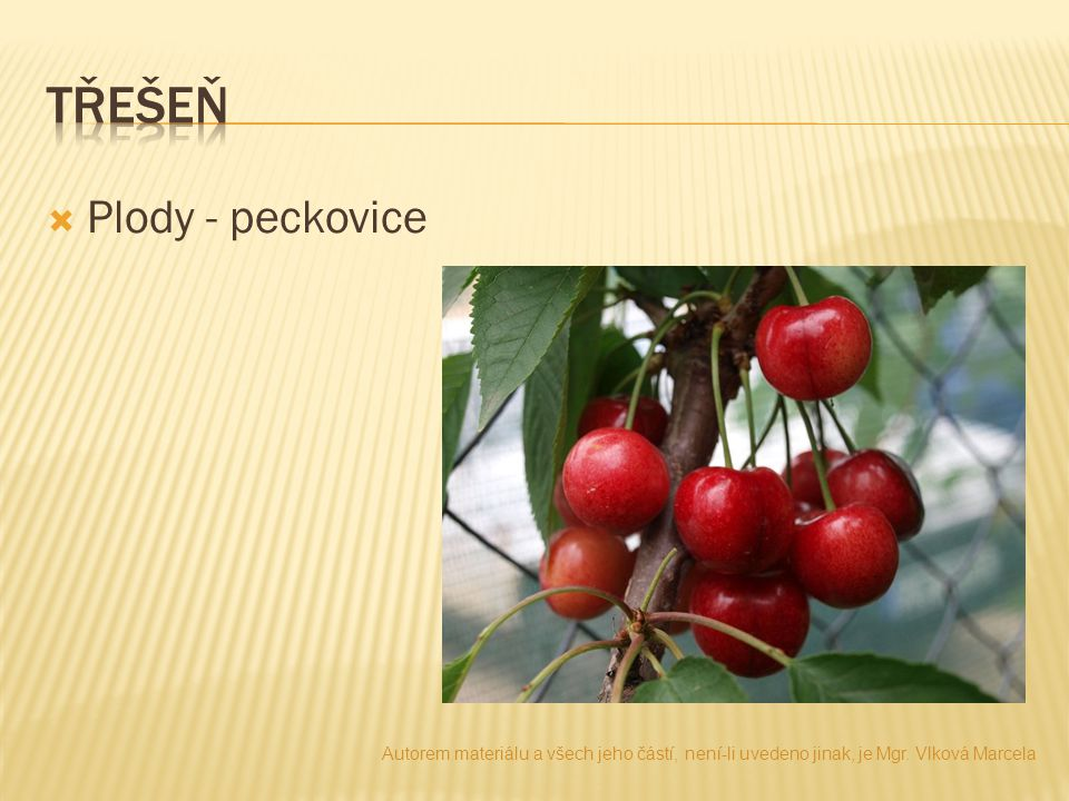 třešeň Plody - peckovice