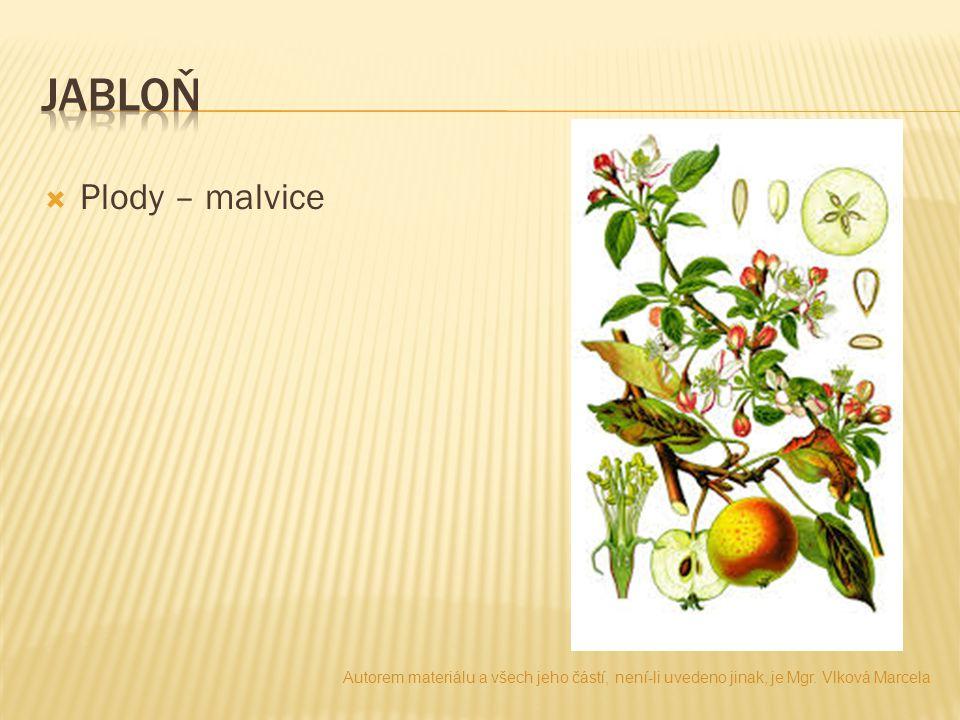 jabloň Plody – malvice. Autorem materiálu a všech jeho částí, není-li uvedeno jinak, je Mgr.