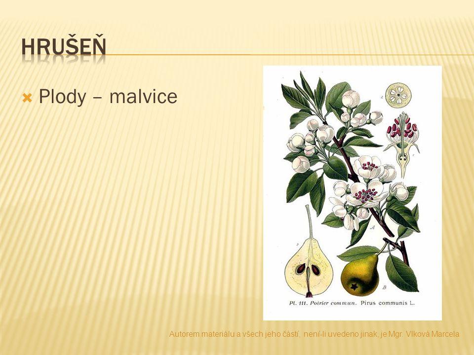 hrušeň Plody – malvice. Autorem materiálu a všech jeho částí, není-li uvedeno jinak, je Mgr.