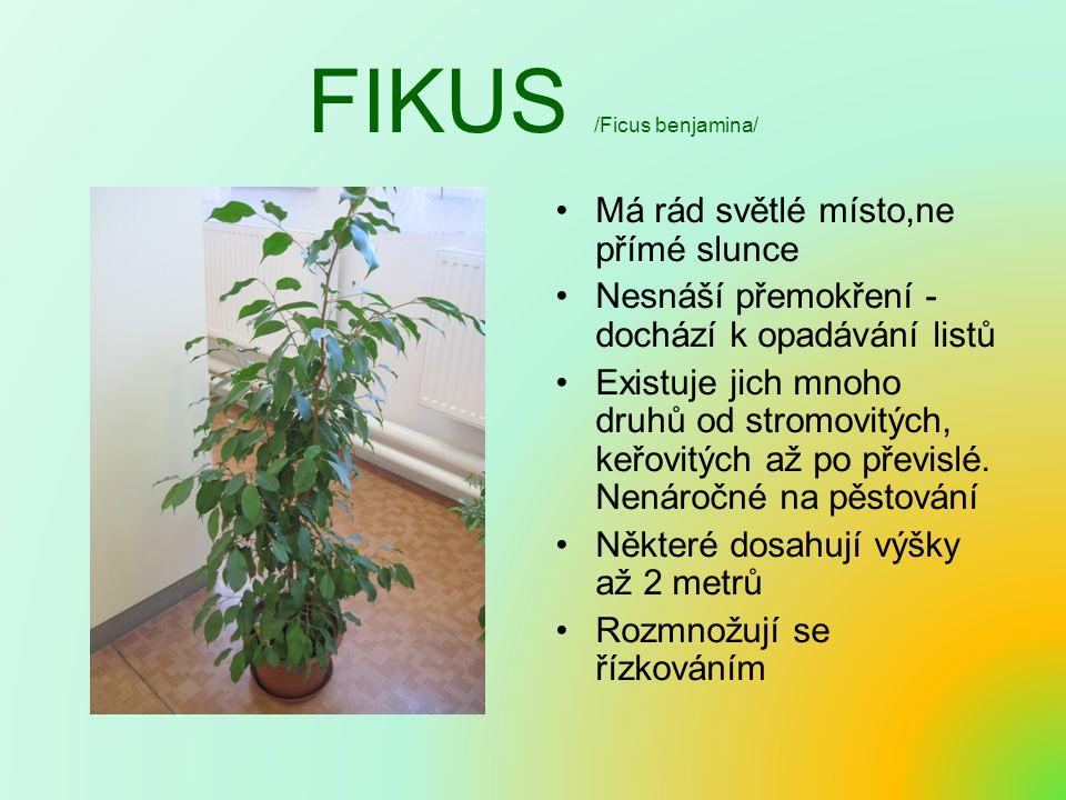 FIKUS /Ficus benjamina/