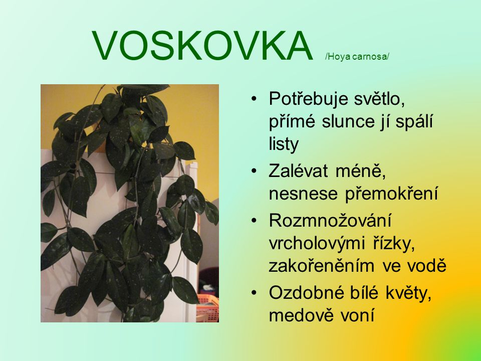 VOSKOVKA /Hoya carnosa/