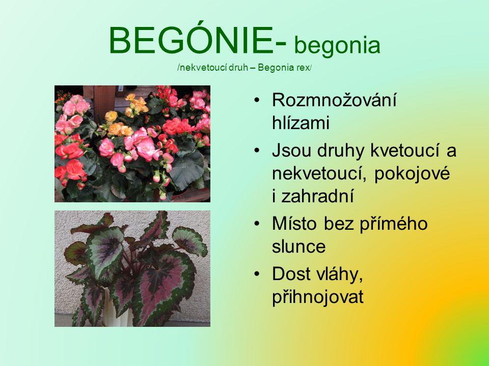 BEGÓNIE- begonia /nekvetoucí druh – Begonia rex/