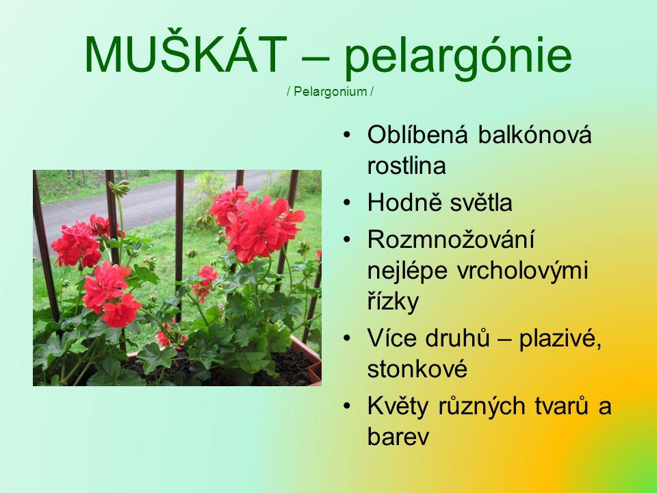 MUŠKÁT – pelargónie / Pelargonium /
