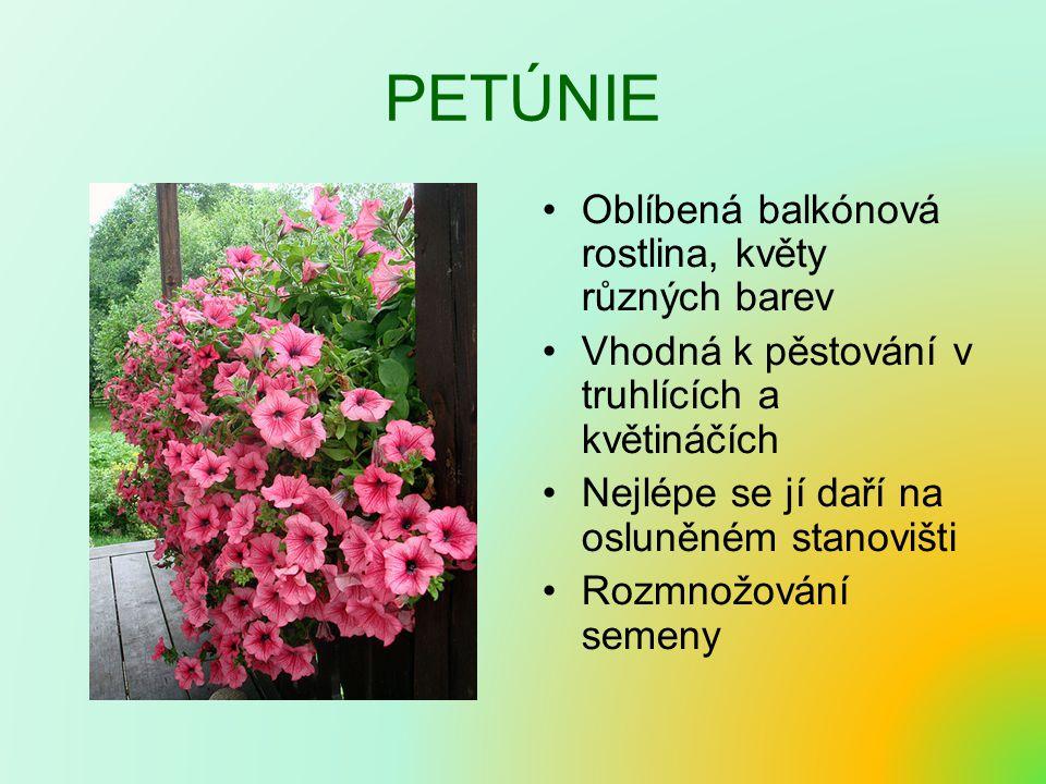 PETÚNIE Oblíbená balkónová rostlina, květy různých barev