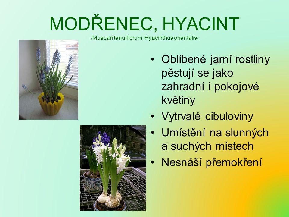 MODŘENEC, HYACINT /Muscari tenuiflorum, Hyacinthus orientalis/