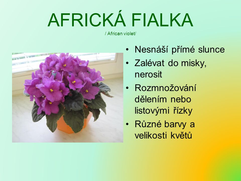 AFRICKÁ FIALKA / African violet/