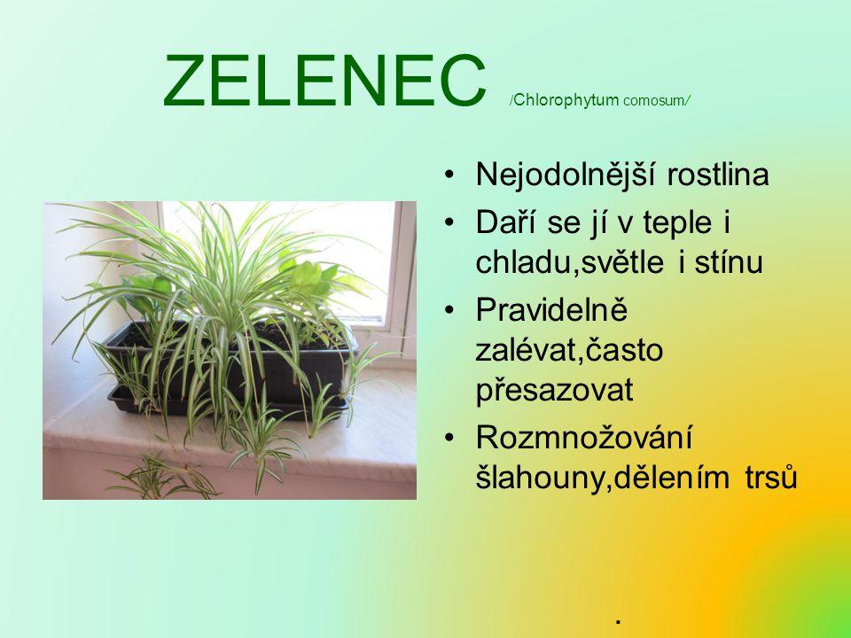 ZELENEC /Chlorophytum comosum/