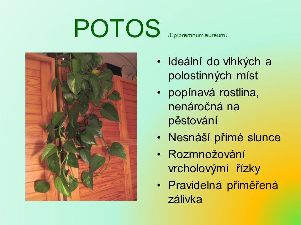 POTOS /Epipremnum aureum /