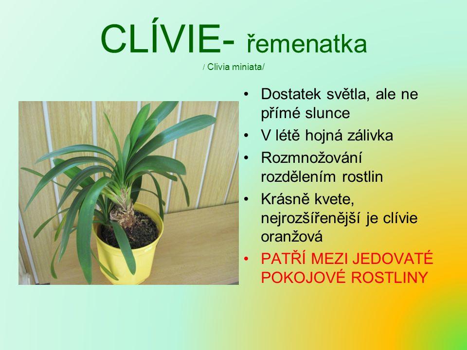 CLÍVIE- řemenatka / Clivia miniata/