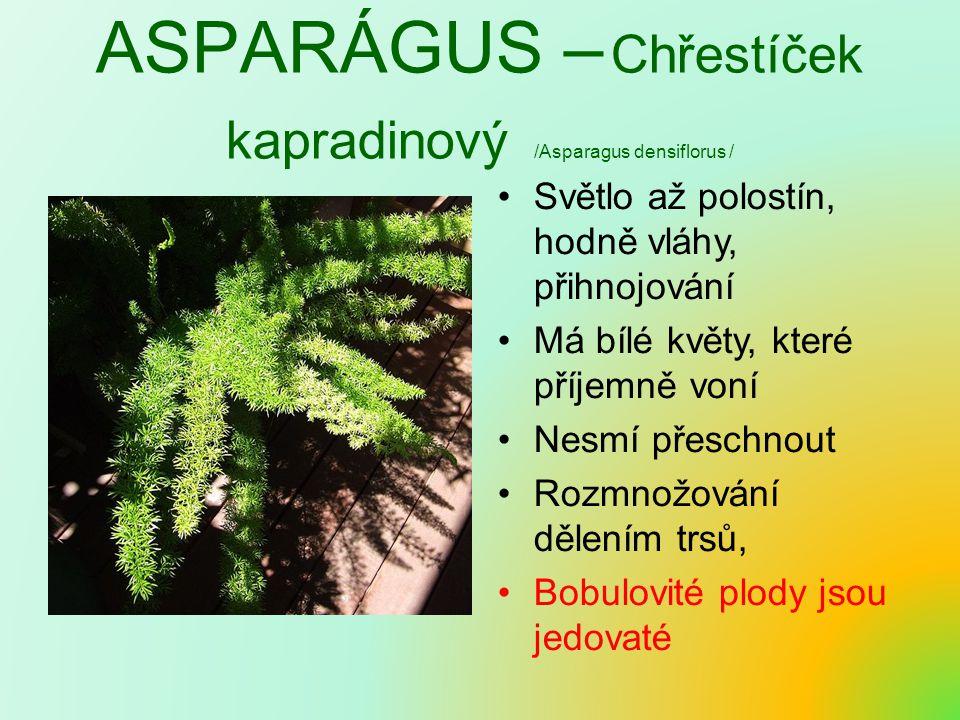 ASPARÁGUS – Chřestíček kapradinový /Asparagus densiflorus /