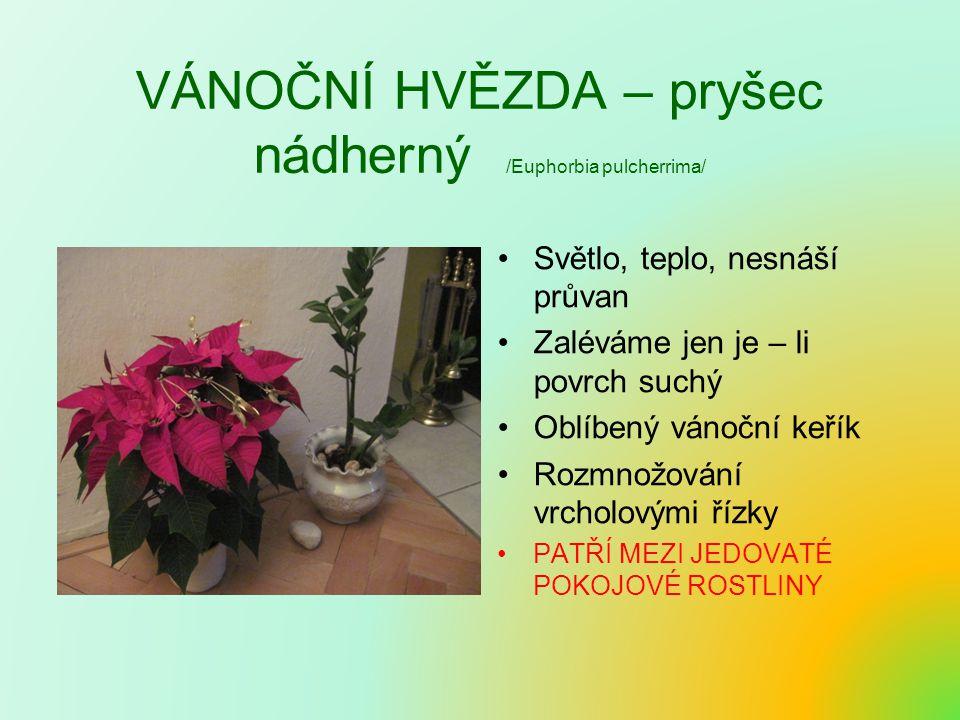 VÁNOČNÍ HVĚZDA – pryšec nádherný /Euphorbia pulcherrima/