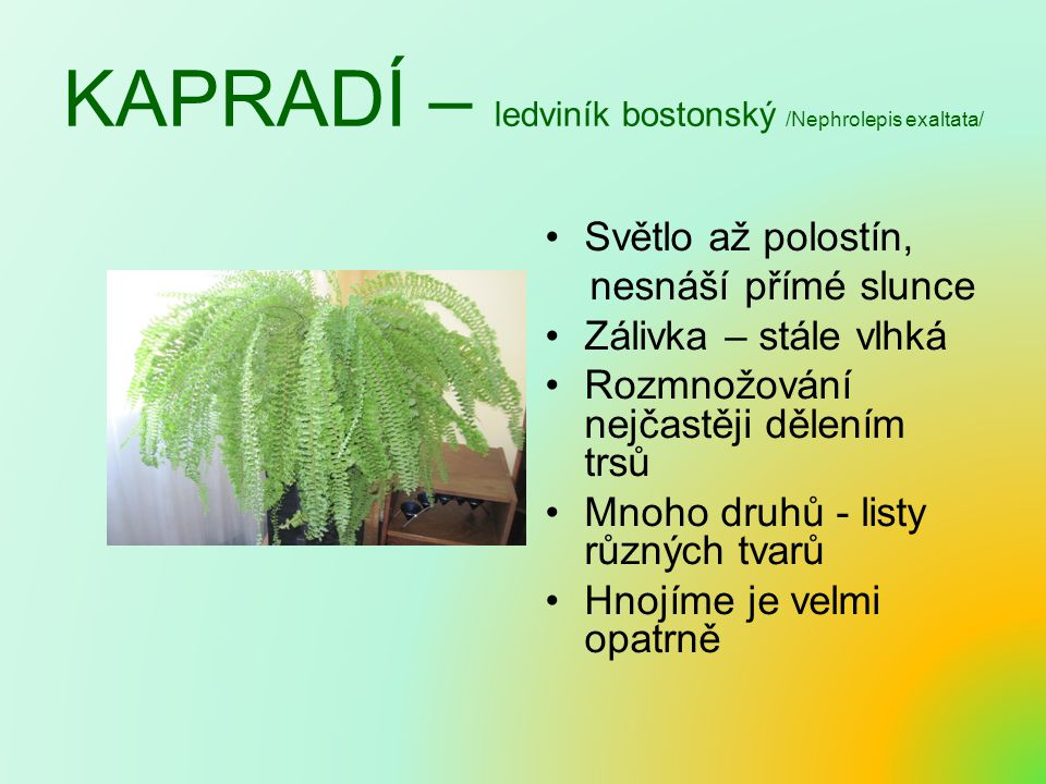 KAPRADÍ – ledviník bostonský /Nephrolepis exaltata/
